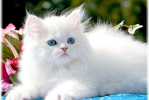 White Cats / Beautiful white cats for your viewing pleasure