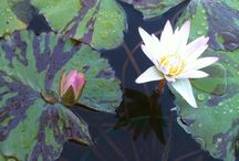 Water Plants / Water lilies, lotus, bogs and marginals.