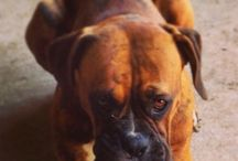 Our Boxers / by Don Carnagey-Lanier