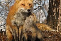 Fox Love / A board to showcase the beauty of the fox.  The fox embodies several aspects of the female spirit.  Famous for being hard to catch, the fox is infamous in many cultures as being a deceptive, manipulating, sneak.  A perfect description someone learning a self-defense system.  #Fox #Animals #SelfDefense - More at http://www.OutFoxxed.Com