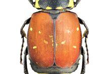 scarabaeidae trichini