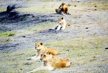 Game Drives / Amazing Game Drive Pictures, and Big 5 Animal Moments