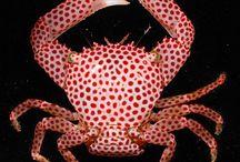 rød prikkete krabbe
