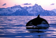 Orcas - Killer Whales / Whales in their natural environment.