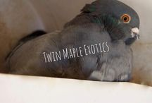 Twin Maple Exotics (Chinese Owl Pigeons)