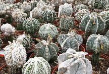 astrophytum / cactus, succulents, rere cacti, plants