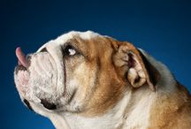 Bacon the Bulldog  & Friends / Dogs / by 🎀Pamela Lopour