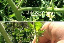 gardening / vegetables / fruit