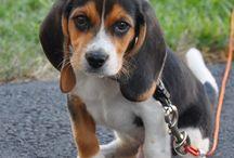 Beagle kölykök
