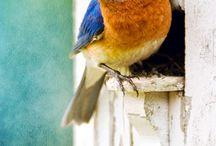 Bluebirds  / Flickr