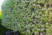 fruit tree hedge