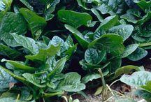Native & Heirloom Plants and garden