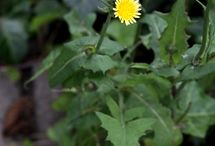 Medicinal Herbs - Sow Thistle