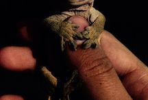 PascalCrestedGecko