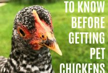 Tips for Raising Backyard Chickens