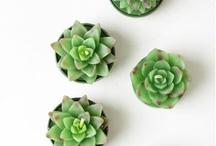 Cactus y suculentas / plantas crasas