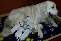 Puppy love / 16 september 2015 is ze geboren mijn hondje een Golden Retriever, begin november komt ze bij mij wonen....