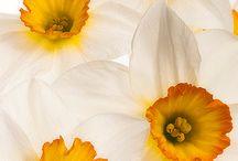 Narzissen | Blumenbilder Osterglocken / Natürlich schöne Blumenbilder mit Osterglocken / Narzissen. Kunstdrucke, Fine-Art-Prints, Fototapeten im Wunschformat.