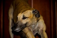 """FPM's Greyhounds / Around the time we started Freeplay magazine we also rescued two greyhounds.  A year and half later we fell in love with a greyhound we were fostering...now we have 3!  These 3 """"pups"""" accompany us in many Freeplay trips!"""