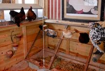 Chickens / Everything about chickens