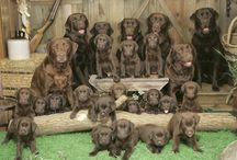 Labradors / Saar #labrador #labradors #puppy #puppylove #cute