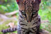 Jaguar bebe