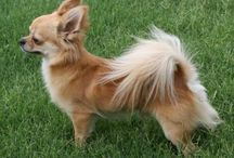 Hair style for chihuahua dog / This style for can apply for your chihuahua dog
