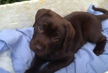 Love those Labs / Love my chocolate labrador.  Who can resist that face?