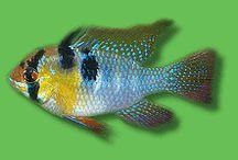 Fischis