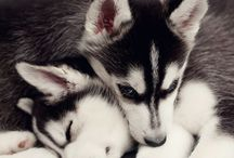Siberian Husky / Love❤️