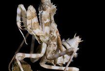 B.Mantis