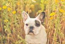 Frenchbulldog / dog