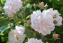 Rambler rózsák