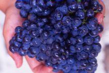 Les Pinots en Champagne / Admirez ces beaux raisins, fleurons des cépages français !