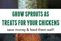 Growing sprouts for chickens