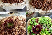 Succulent garden / Succulents