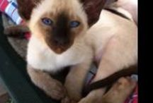 Siamese Cats / Our naughty Siamese cats