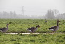 Goose / Goose, Ganzen