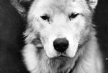 Shackleton Endurance Dogs