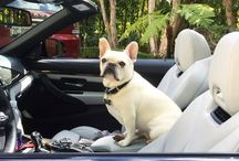 French Bulldog Lyfe / This is a board for all the cute French Bulldog stuff we find!