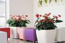 Комнатный цветок-антуриум