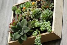 Plantas de succulent