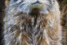 Pallas Cat(s)