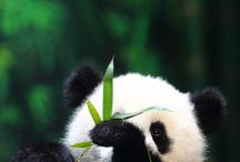 Panda  / They're so cute!!!!
