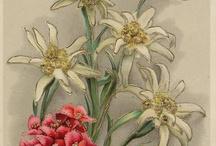 edelweiss... / edelweiss..