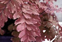 Old Rose Pink