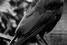 dark and fascinating crows and ravens