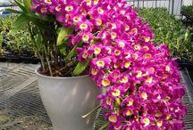 Orchidee Dendrobiu