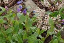 Pulmonaria Combinations / Plant partnerships that include pulmonarias (also known as lungworts)
