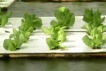 Выращивание салата или чем нас кормят производители салата с помощь гидропоники